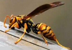 China: giant hornet