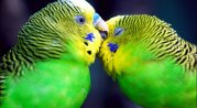 pair of love birds