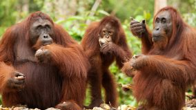 Orangutans huddled