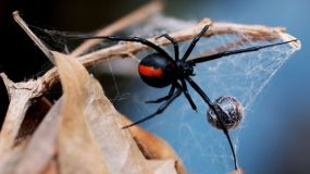 black_widow_spider_australia